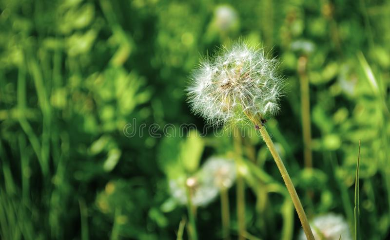 Χνούδι λουλουδιών πικραλίδων στοκ φωτογραφία