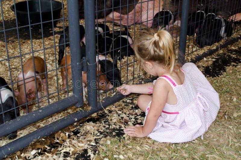 Χοίροι μωρών Petting στοκ φωτογραφίες