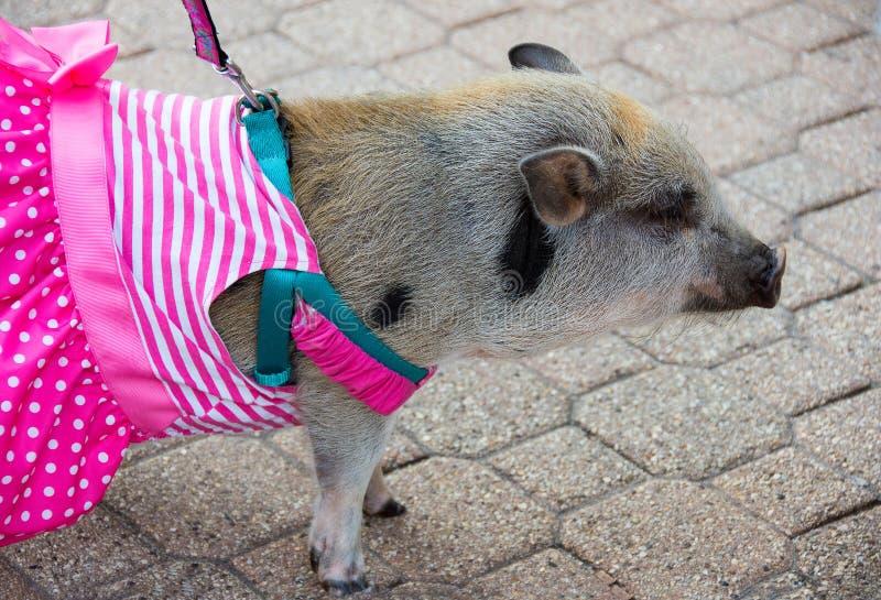 Χοίρος της Pet στο λουρί στο φόρεμα στοκ εικόνες