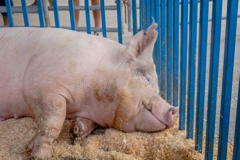 Χοίρος ύπνου που έχει τα ευτυχή όνειρα στην έκθεση νομών στοκ εικόνα