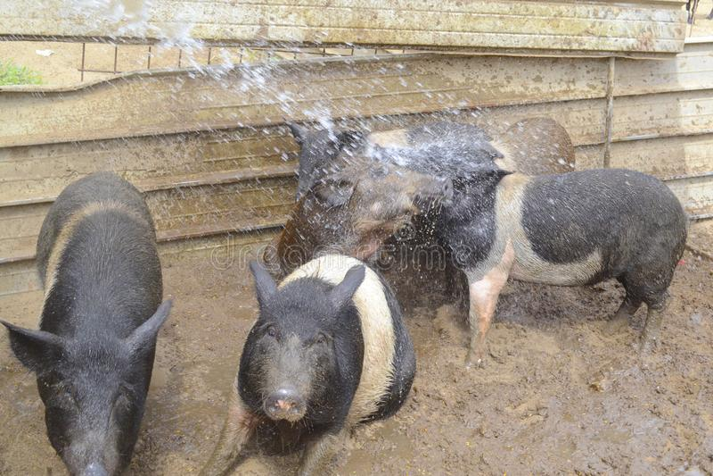 Χοιρίδια που παίζουν σε ένα αγρόκτημα στοκ φωτογραφία