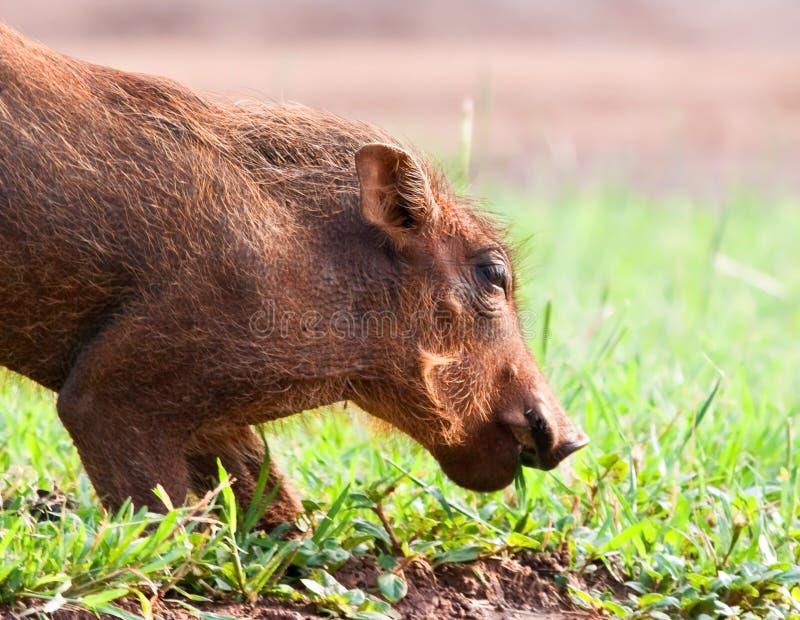 χοιρίδιο warthog στοκ φωτογραφία με δικαίωμα ελεύθερης χρήσης