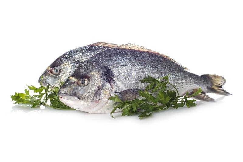 Χοιρομητέρα-επικεφαλής ψάρια τσιπουρών που απομονώνονται στοκ φωτογραφίες με δικαίωμα ελεύθερης χρήσης