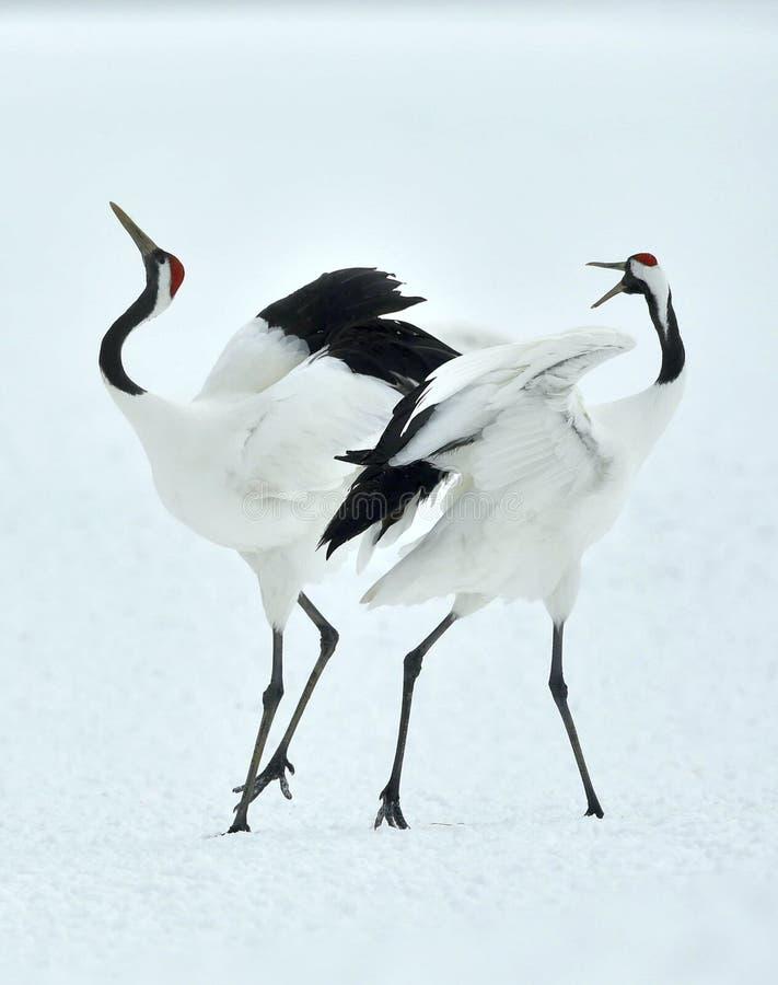 Χορεύοντας γερανοί Το κόκκινος-στεμμένο όνομα Sceincific γερανών: Japonensis Grus στοκ φωτογραφίες