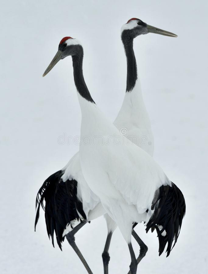 Χορεύοντας γερανοί Το κόκκινος-στεμμένο όνομα Sceincific γερανών: Το japonensis Grus, αποκαλούμενο επίσης τον ιαπωνικό γερανό ή M στοκ φωτογραφίες με δικαίωμα ελεύθερης χρήσης