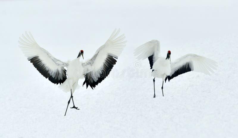Χορεύοντας γερανοί Το κόκκινος-στεμμένο όνομα Sceincific γερανών: Το japonensis Grus, αποκαλούμενο επίσης τον ιαπωνικό γερανό ή M στοκ φωτογραφία με δικαίωμα ελεύθερης χρήσης
