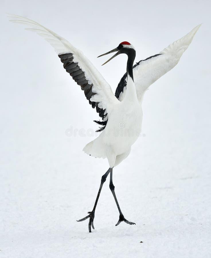 Χορεύοντας γερανός Το κόκκινος-στεμμένο όνομα Sceincific γερανών: Japonensis Grus, αποκαλούμενο επίσης ιαπωνικό γερανό στοκ φωτογραφίες