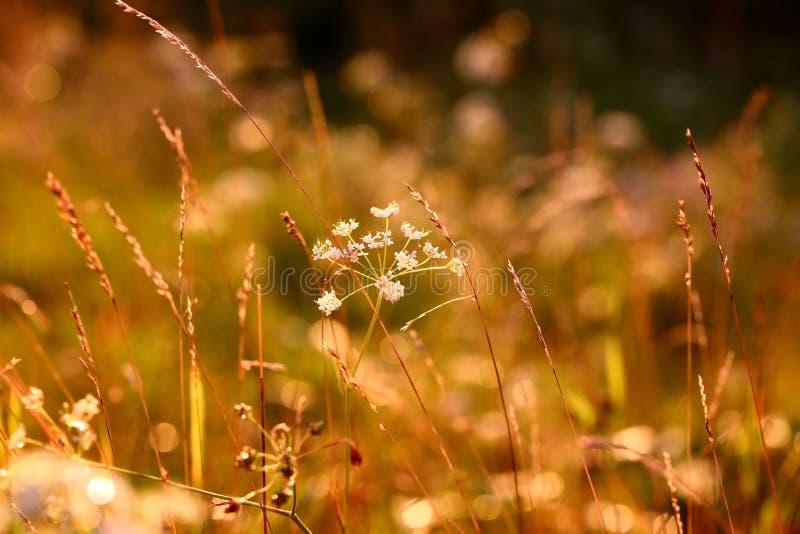 Χορτάρια ηλιοβασιλέματος στοκ φωτογραφίες με δικαίωμα ελεύθερης χρήσης