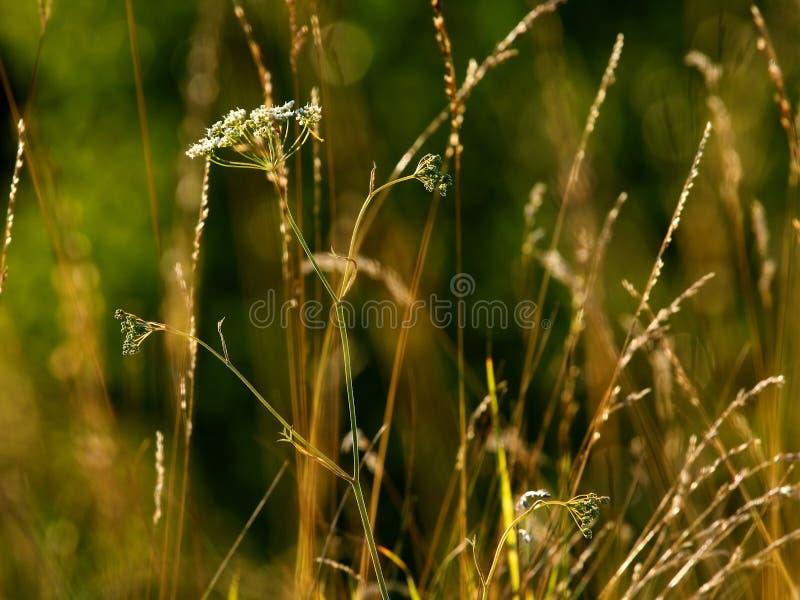 Χορτάρια ηλιοβασιλέματος στοκ εικόνα με δικαίωμα ελεύθερης χρήσης