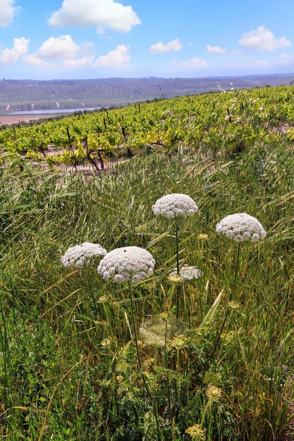 Χορτάρια και άγρια λουλούδια και πράσινο τοπίο λόφων αμπελώνων στοκ φωτογραφίες