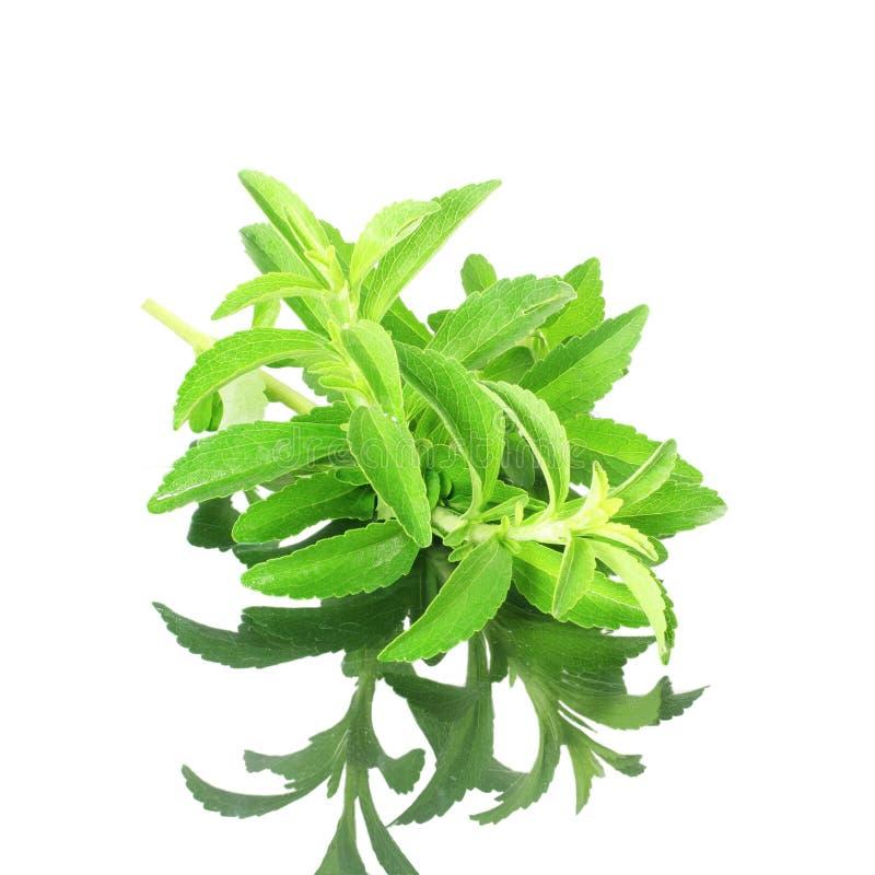 Χορτάρια υποκατάστατων ζάχαρης Stevia με τη σκιά στο καθαρό άσπρο υπόβαθρο στοκ εικόνα με δικαίωμα ελεύθερης χρήσης