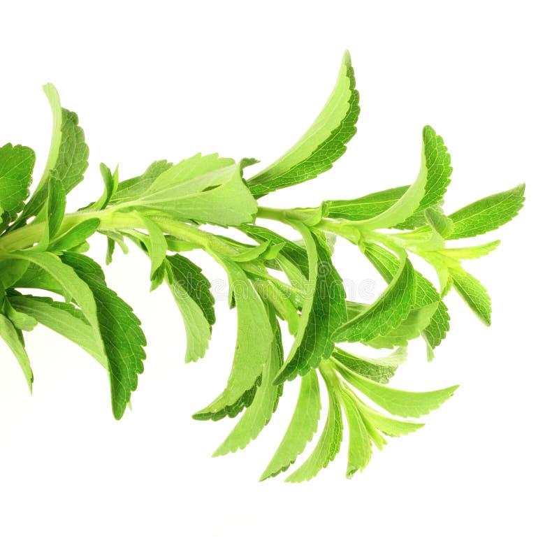 Χορτάρια υποκατάστατων ζάχαρης Stevia στο καθαρό άσπρο υπόβαθρο στοκ φωτογραφία