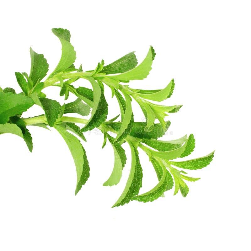 Χορτάρια υποκατάστατων ζάχαρης Stevia στο καθαρό άσπρο υπόβαθρο στοκ φωτογραφία με δικαίωμα ελεύθερης χρήσης