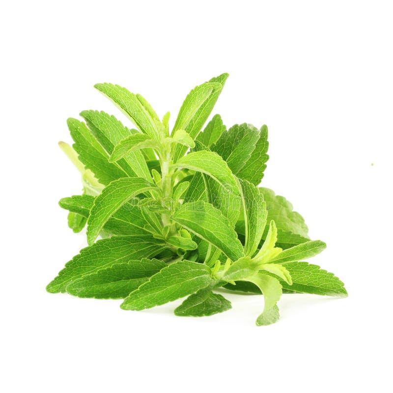 Χορτάρια υποκατάστατων ζάχαρης Stevia στο καθαρό άσπρο υπόβαθρο στοκ εικόνες με δικαίωμα ελεύθερης χρήσης