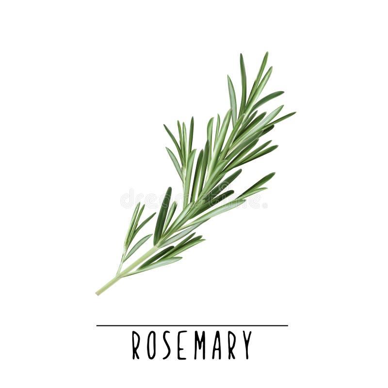 Χορτάρι της Rosemary και διανυσματική απεικόνιση καρυκευμάτων διανυσματική απεικόνιση