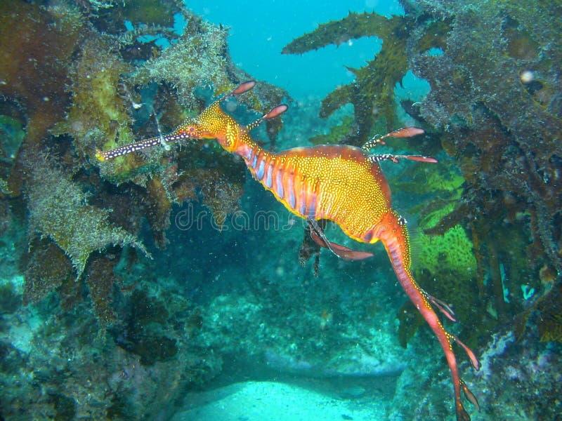 Χορταριασμένος δράκος θάλασσας στοκ φωτογραφία με δικαίωμα ελεύθερης χρήσης