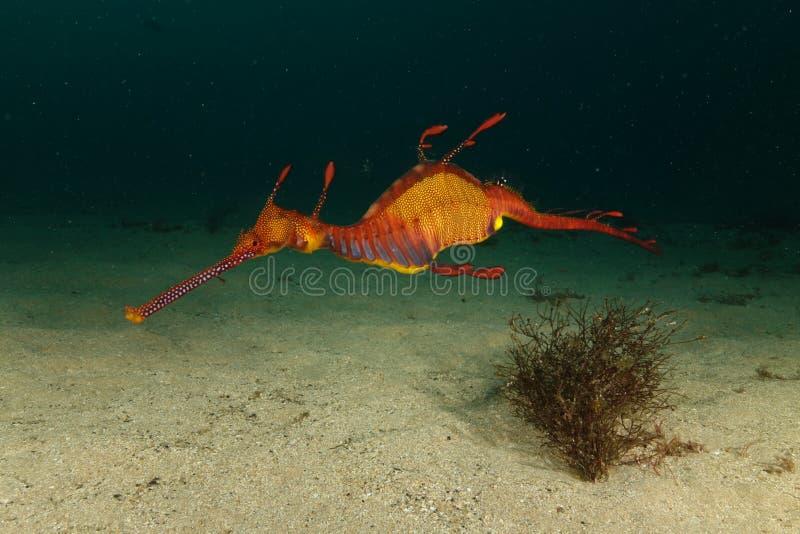 Χορταριασμένο seadragon στοκ εικόνα με δικαίωμα ελεύθερης χρήσης