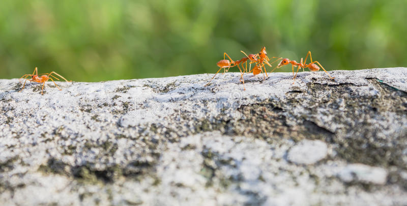 Χορτονομή μυρμηγκιών για τα τρόφιμα στοκ φωτογραφία με δικαίωμα ελεύθερης χρήσης