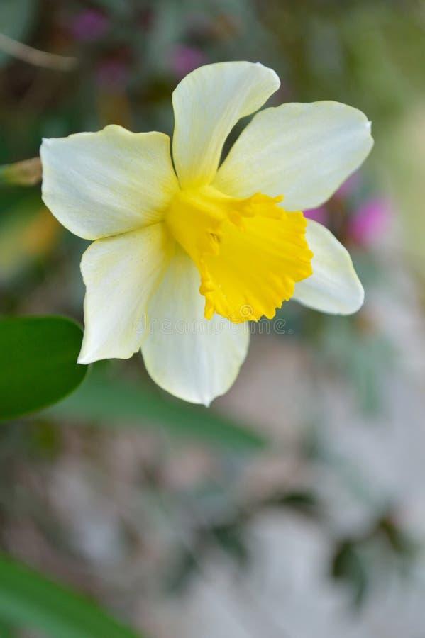 Χορός Daffodil στοκ εικόνα με δικαίωμα ελεύθερης χρήσης