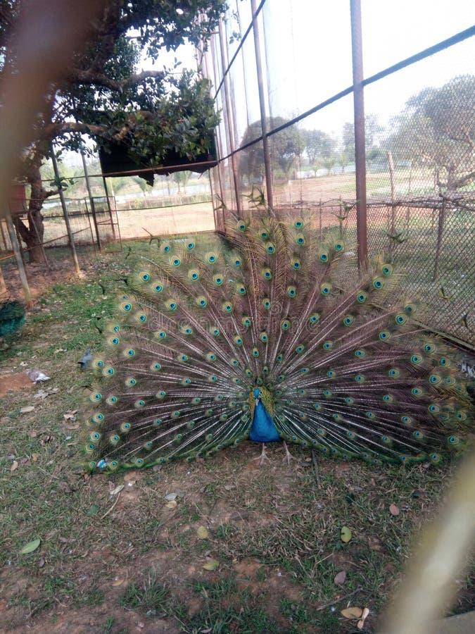 Χορός peacock στοκ εικόνες με δικαίωμα ελεύθερης χρήσης