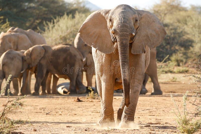 Χρέωση ελεφάντων στοκ φωτογραφία με δικαίωμα ελεύθερης χρήσης