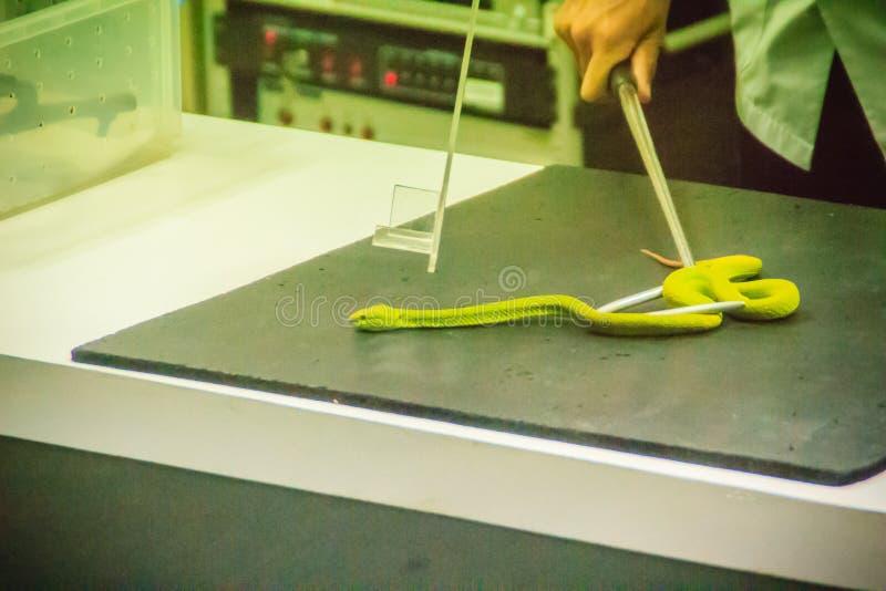 Χρησιμοποίηση του φιδιού που πιάνει το εργαλείο για να πιάσει το πράσινο φίδι οχιών κοιλωμάτων για στοκ εικόνες