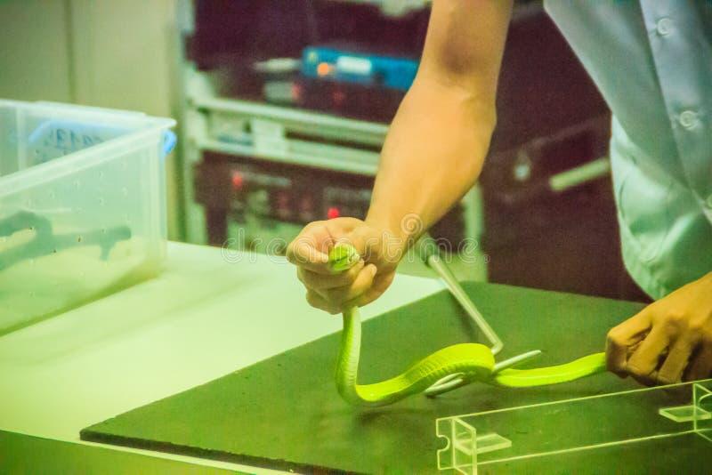Χρησιμοποίηση του φιδιού που πιάνει το εργαλείο για να πιάσει το πράσινο φίδι οχιών κοιλωμάτων για στοκ εικόνες με δικαίωμα ελεύθερης χρήσης