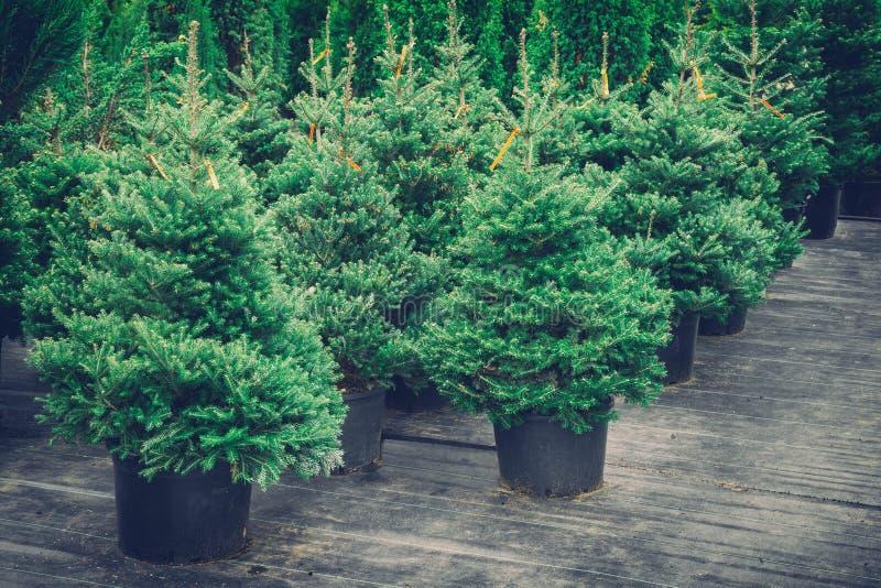 Χριστουγεννιάτικα δέντρα στα δοχεία για την πώληση Αναδρομικός που τονίζεται στοκ φωτογραφίες