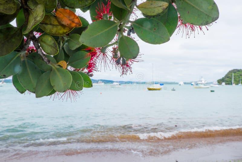 Χριστουγεννιάτικο δέντρο της Νέας Ζηλανδίας, γνωστό ως Pohutukawa και Metrosideros στοκ φωτογραφία