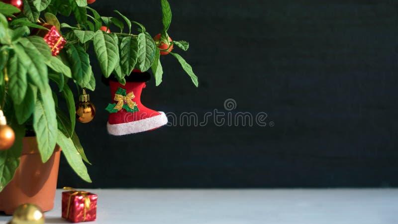 Χριστουγεννιάτικο δέντρο Nightshade με την κόκκινα μπότα Χριστουγέννων, τη σφαίρα και το κιβώτιο δώρων Πράσινο φυτό γλαστρών Nigh στοκ εικόνες με δικαίωμα ελεύθερης χρήσης