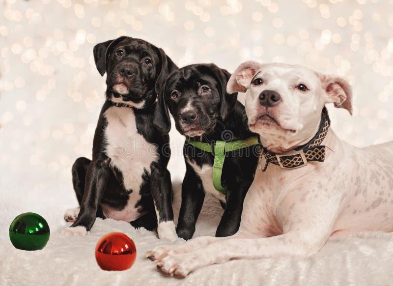 Χριστούγεννα σκυλιών στοκ εικόνες με δικαίωμα ελεύθερης χρήσης