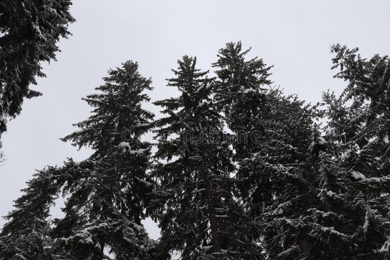 Χριστούγεννα τρία δέντρα Απερίγραπτη ομορφιά στοκ φωτογραφία με δικαίωμα ελεύθερης χρήσης