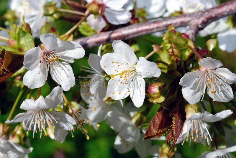 χρονικό δέντρο άνοιξη κερασιών ανθών στοκ εικόνα με δικαίωμα ελεύθερης χρήσης