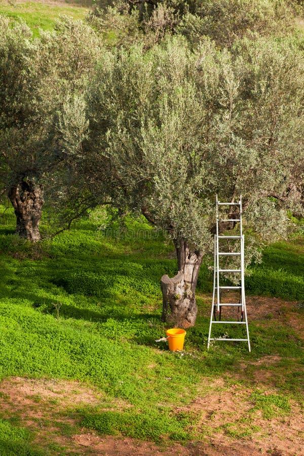 χρονικό δέντρο ελιών συγκ& στοκ εικόνα με δικαίωμα ελεύθερης χρήσης