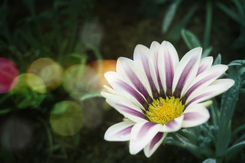 Χρυσάνθεμο άσπρο και πράσινο - ύφος Bokeh στοκ εικόνες