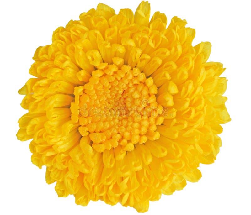 χρυσάνθεμο κίτρινο στοκ φωτογραφία με δικαίωμα ελεύθερης χρήσης