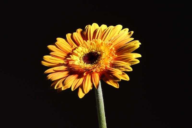 Download χρυσάνθεμο στοκ εικόνες. εικόνα από πορτοκάλι, χρυσάνθεμο - 13180928