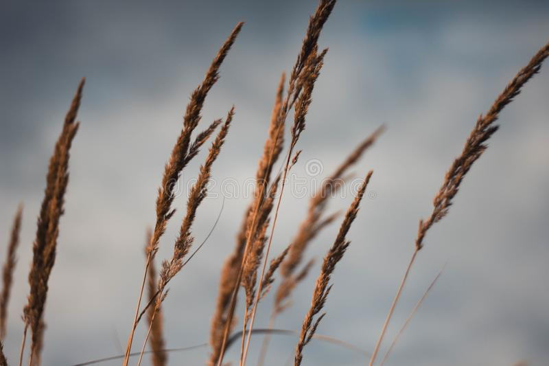 Χρυσά αυτιά του σίτου ενάντια στη νεφελώδη κινηματογράφηση σε πρώτο πλάνο ουρανού Η κίτρινη σίκαλη φθινοπώρου εξετάζει τον ουρανό στοκ φωτογραφία με δικαίωμα ελεύθερης χρήσης