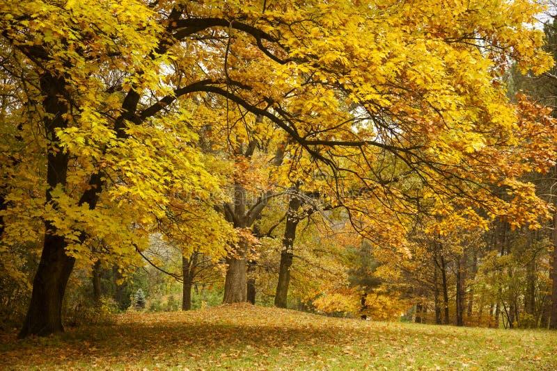 χρυσά δέντρα πάρκων φθινοπώρου στοκ φωτογραφία με δικαίωμα ελεύθερης χρήσης