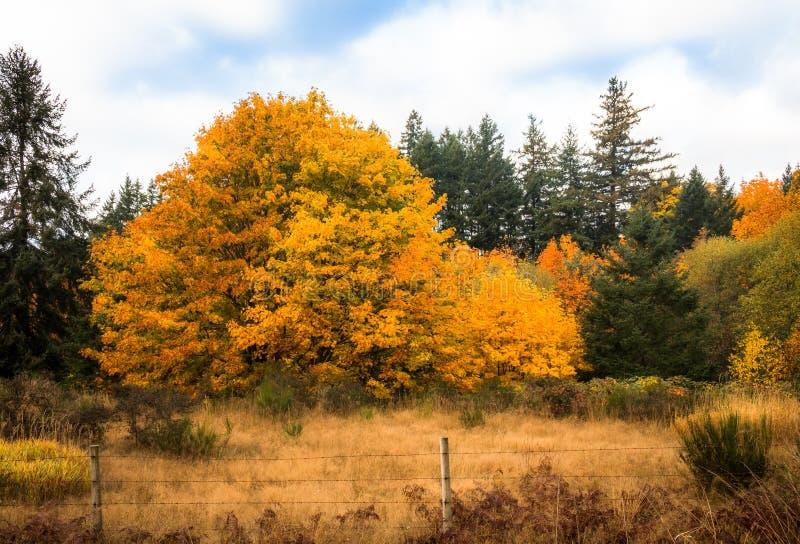 Χρυσά δέντρα του φθινοπώρου στοκ εικόνες