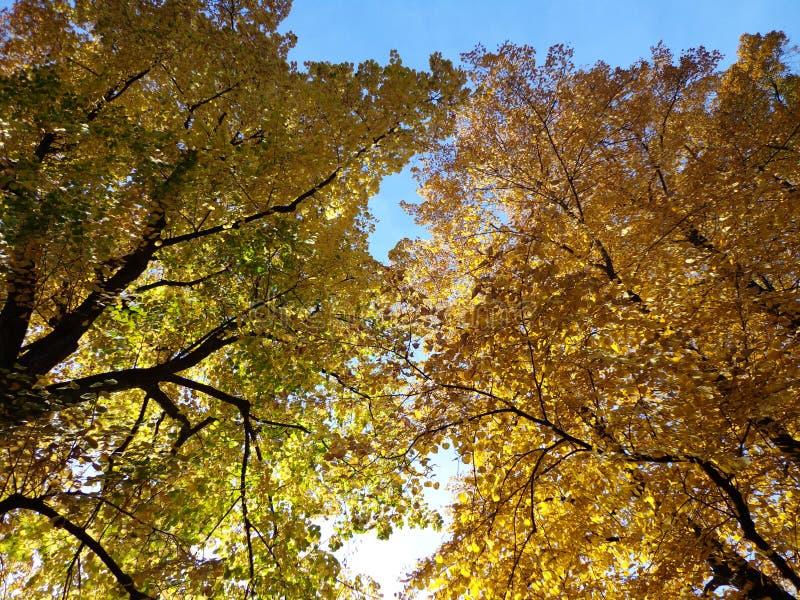 Χρυσά δέντρα το φθινόπωρο στοκ φωτογραφίες