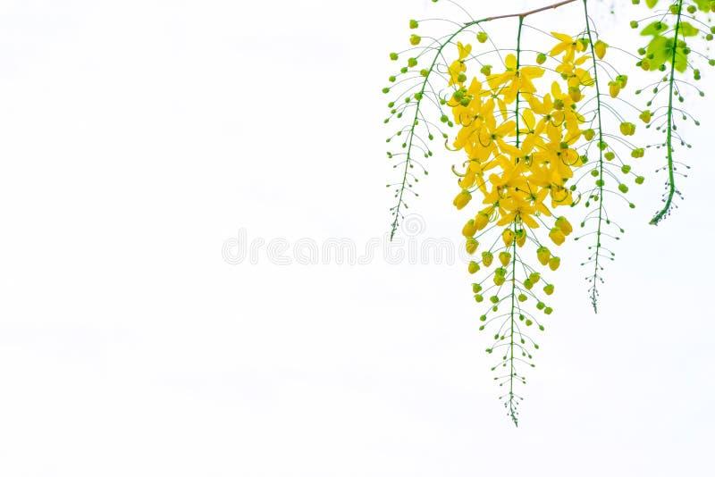 Χρυσά λουλούδια ντους, λουλούδια δέντρων fistulosa της Cassia, καλοκαίρι φ στοκ εικόνες