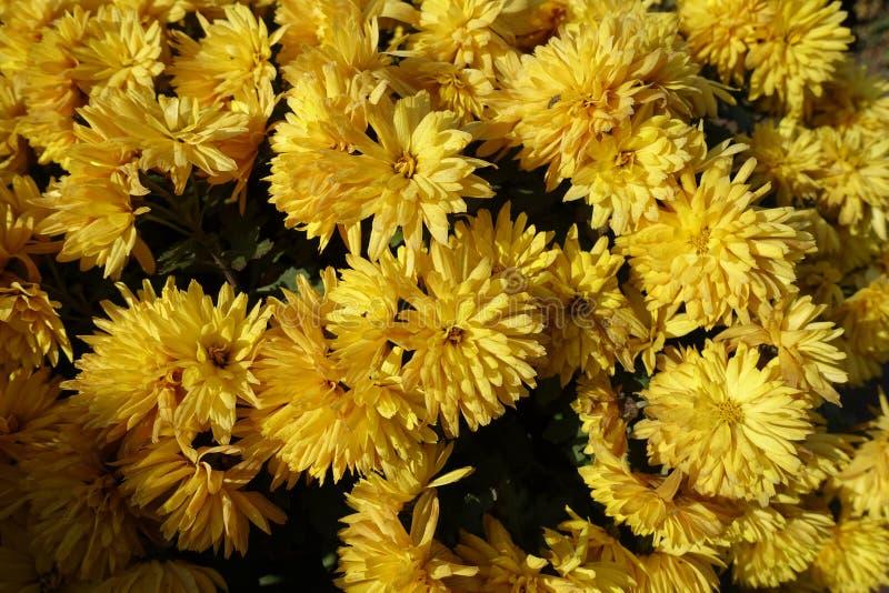 Χρυσά λουλούδια του χρυσάνθεμου το φθινόπωρο στοκ εικόνες