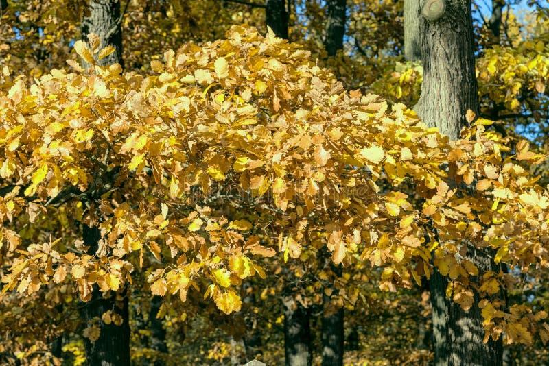 Χρυσά φθινοπωρινά φύλλα στοκ εικόνες με δικαίωμα ελεύθερης χρήσης
