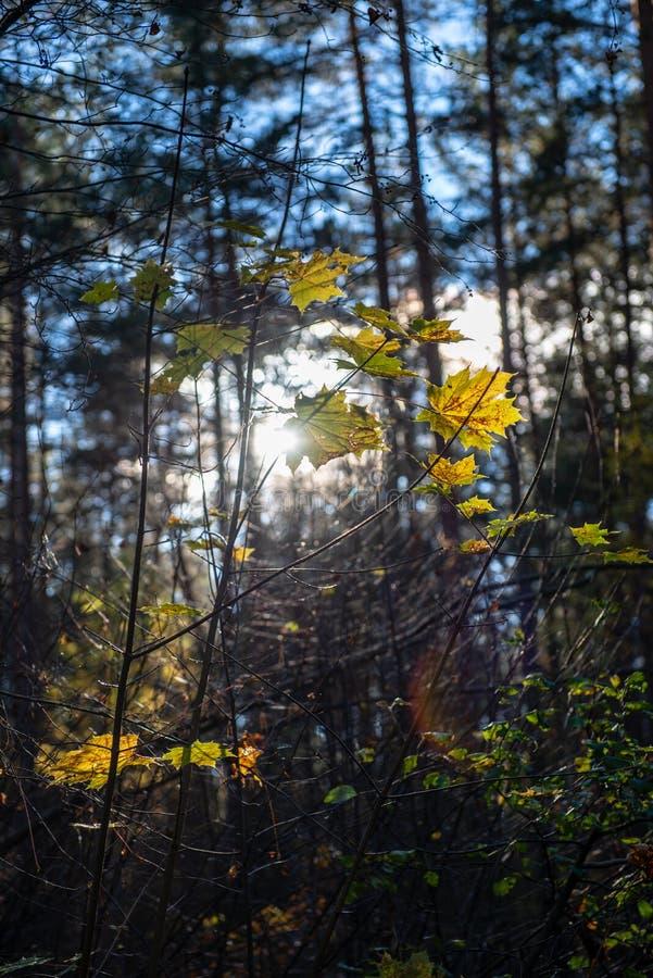 χρυσά χρωματισμένα φύλλα φθινοπώρου με τους κλάδους υποβάθρου και δέντρων θαμπάδων στοκ φωτογραφία με δικαίωμα ελεύθερης χρήσης