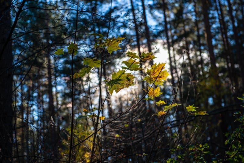 χρυσά χρωματισμένα φύλλα φθινοπώρου με τους κλάδους υποβάθρου και δέντρων θαμπάδων στοκ φωτογραφίες