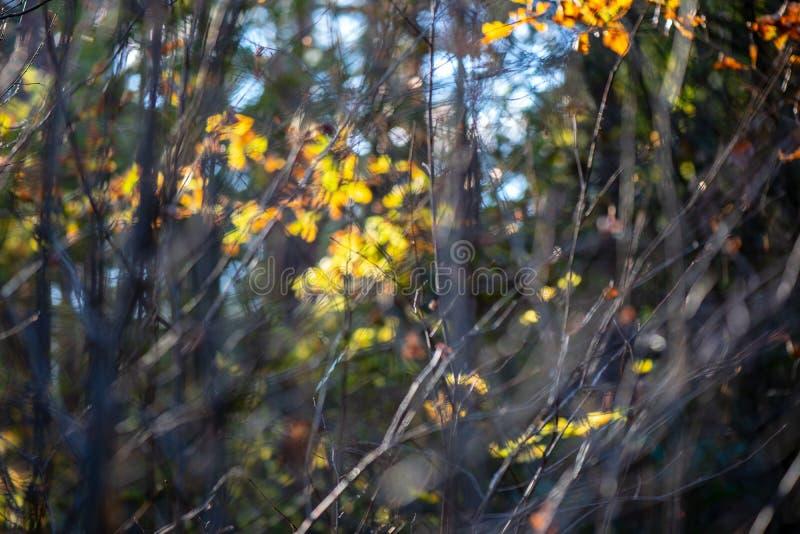 χρυσά χρωματισμένα φύλλα φθινοπώρου με τους κλάδους υποβάθρου και δέντρων θαμπάδων στοκ εικόνες με δικαίωμα ελεύθερης χρήσης
