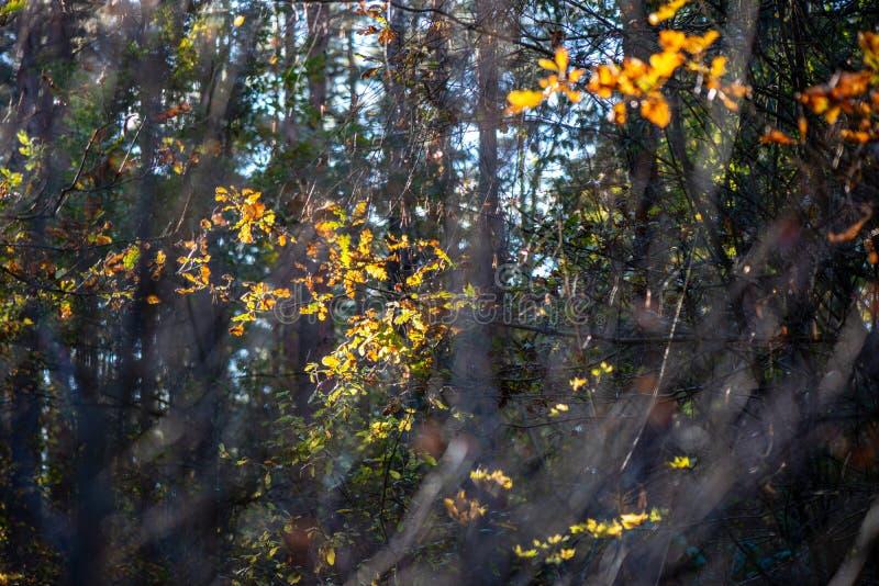 χρυσά χρωματισμένα φύλλα φθινοπώρου με τους κλάδους υποβάθρου και δέντρων θαμπάδων στοκ εικόνα