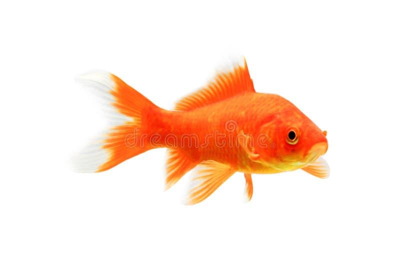 Χρυσά ψάρια koi που απομονώνονται στο άσπρο υπόβαθρο στοκ φωτογραφίες με δικαίωμα ελεύθερης χρήσης
