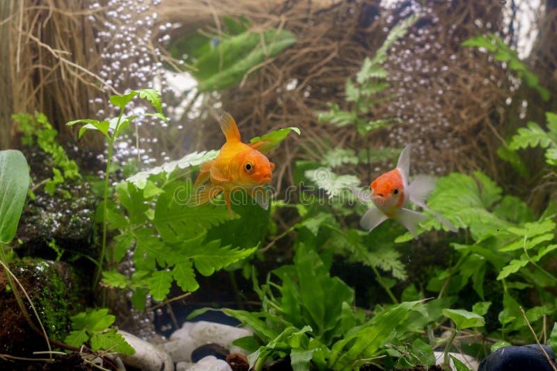 Χρυσά ψάρια koi που απομονώνονται στο μαύρο υπόβαθρο στοκ εικόνες